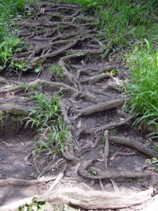 Trail outlined by roots