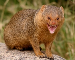 mongoose_3